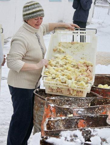 300 тысяч цыплят выбросили погибать на мороз